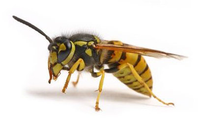 adult wasp in sw & west london