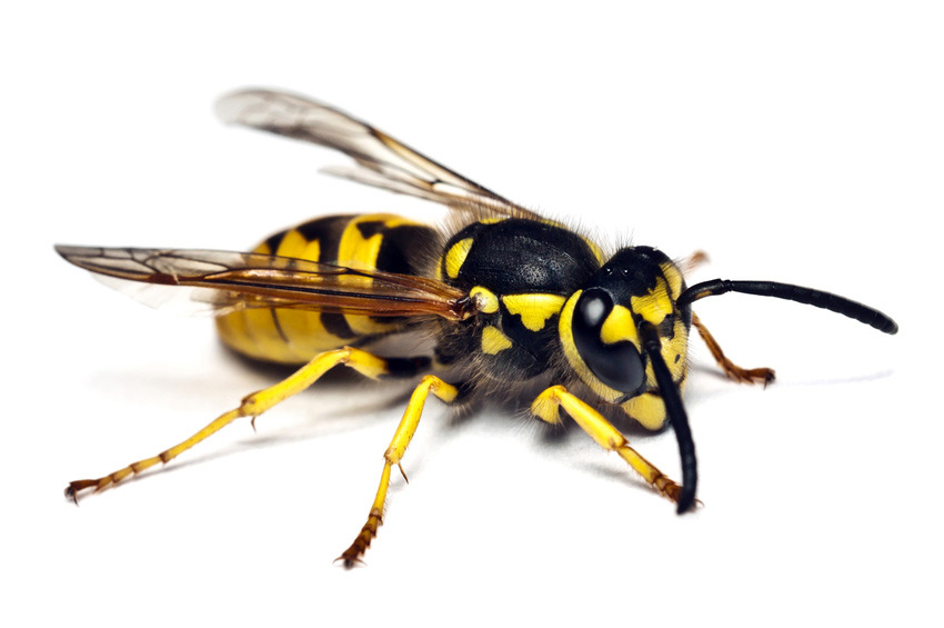 Wasp nest removal notting hill
