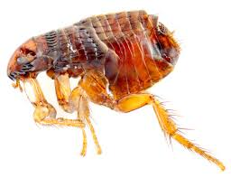 flea pest control notting hill