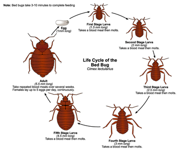 wimbledon bed bug life cycle